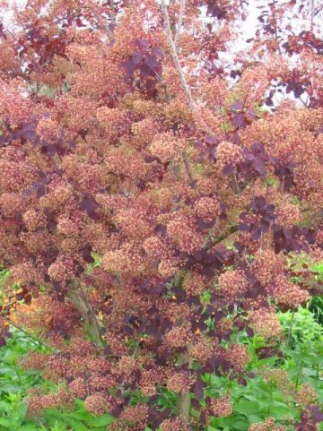 Cotinus coggygria 'Royal Purple' - Pruikenboom