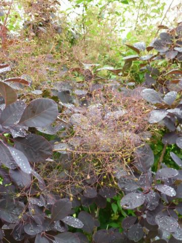 Cotinus coggygria 'Royal Purple' - Pruikenboom