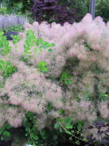 Cotinus coggygria 'Young Lady' - Pruikenboom
