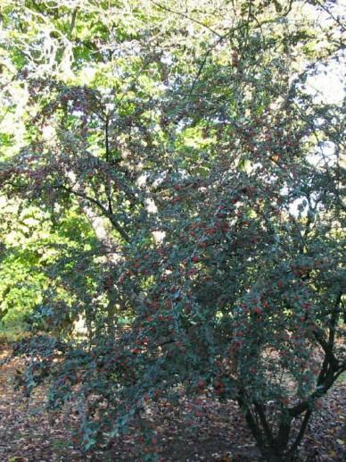 Cotoneaster franchetii  - Dwergmispel
