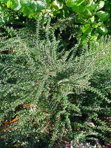 Cotoneaster horizontalis  - Dwergmispel