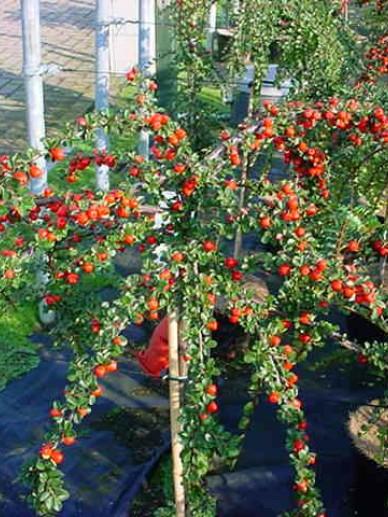 Cotoneaster nanshan 'Boer' - Dwergmispel