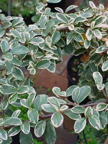 Cotoneaster × suecicus  'Juliette' - Dwergmispel
