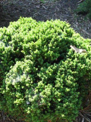 Cryptomeria japonica 'Compressa' - Japanse cypres