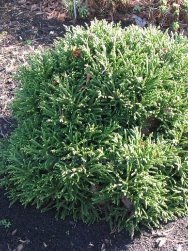 Cryptomeria japonica 'Little Champion' - Japanse cypres