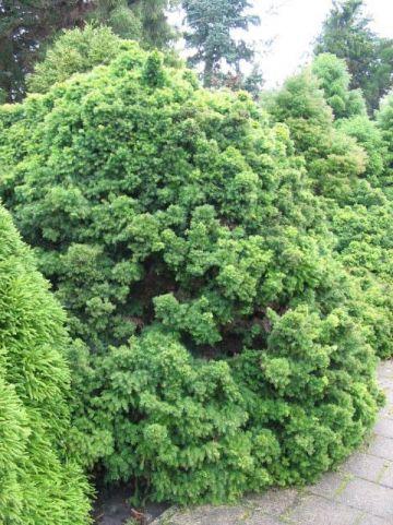 Cryptomeria japonica 'Monstrosa' - Japanse cypres