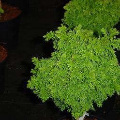 Cryptomeria japonica 'Pevé Ten' - Japanse cypres