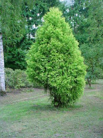 Cryptomeria japonica 'Sekkan' - Japanse cypres