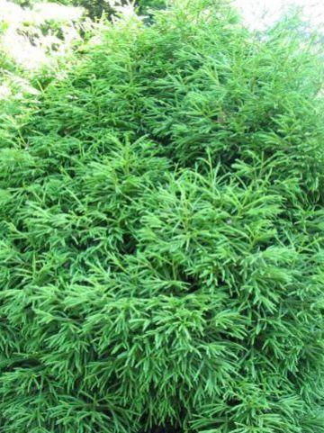 Cryptomeria japonica 'Spiralis' - Japanse cypres