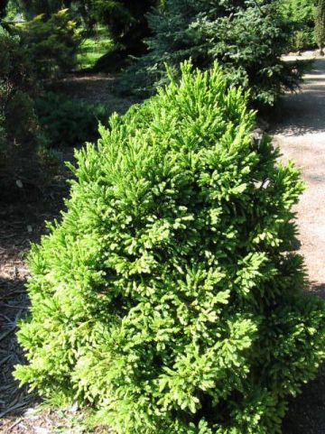 Cryptomeria japonica 'Winter Bronze' - Japanse cypres