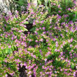 Cuphea hyssopifolia 'Niniek' - Mexikaans luciferplantje