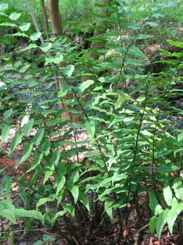 Cyrtomium fortunei  - IJzervaren , Sikkelvaren