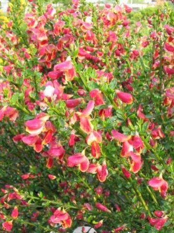 Cytisus  'Maria Burkwood' - Bezembrem , Geiteklaver