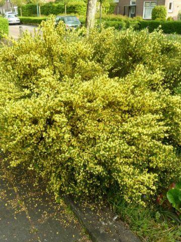 Cytisus praecox 'Allgold' - Brem , Geiteklaver