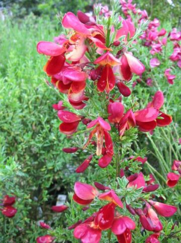 Cytisus  'Red Wings' - Bezembrem , Geiteklaver