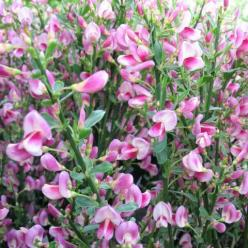 Cytisus  'Zeelandia' - Brem , Geiteklaver