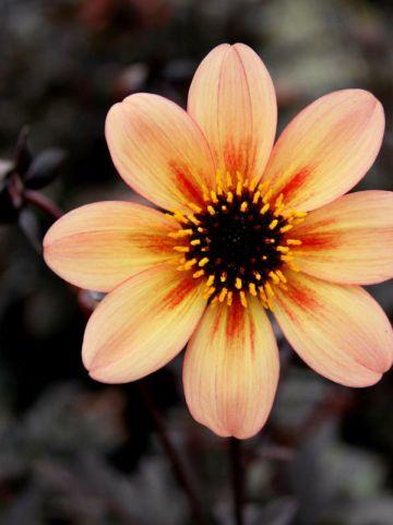Dahlia  'Mystic Memories' (='Antique') - Dahlia