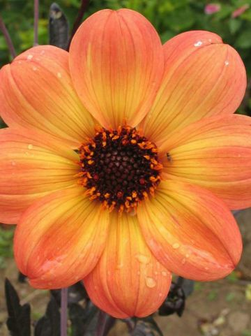 Dahlia  'Mystic Haze' (='Dark Side of the Sun') - Dahlia