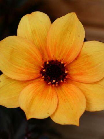 Dahlia  'Mystic Spirit' (='Hamspirit') - Dahlia