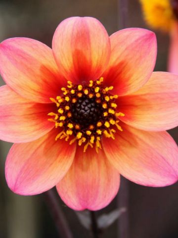 Dahlia  'Mystic Fantasy' (='Hawaiian Dreams') - Dahlia