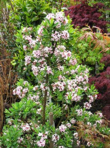 Daphne × burkwoodii  'Astrid' - Peperboompje