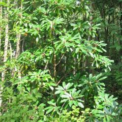 Daphniphyllum macropodum  -