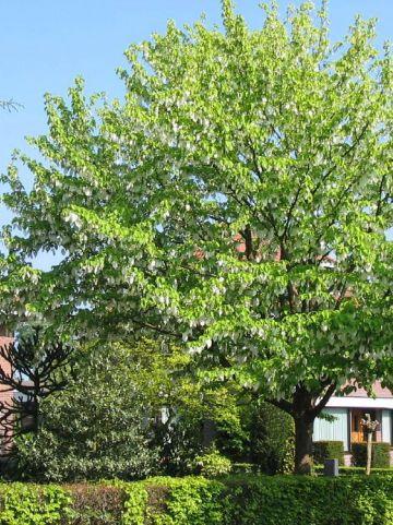 Davidia involucrata - Vaantjesboom