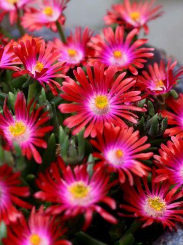 Delosperma cooperi 'Jewel of Desert Garnet' -