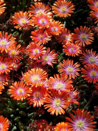 Delosperma cooperi 'Jewel of Desert Sunstone' -