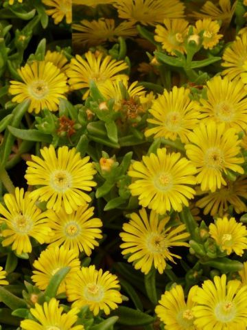 Delosperma nubigenum 'Golden Wonder' (='WOW20111') -