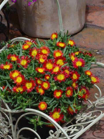 Delosperma nubigenum 'Fire Wonder' (='WOWDAY2') -