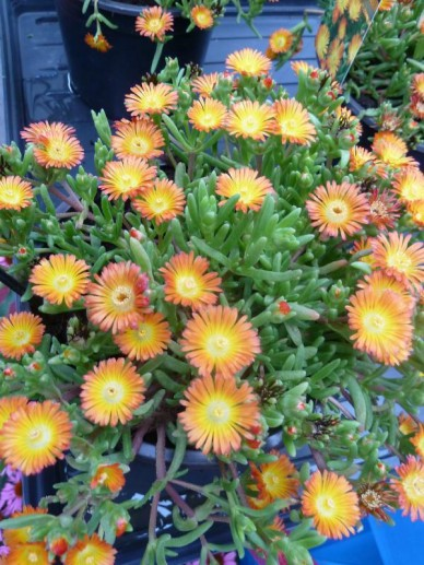 Delosperma nubigenum 'Orange Wonder' (='WOWDOY3') -