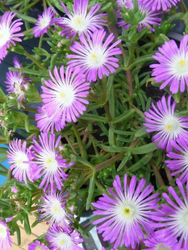 Delosperma nubigenum 'Violet Wonder' (='WOWDRW5') -