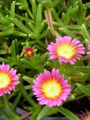 Delosperma nubigenum 'Hot Pink Wonde' (='WOWDRY1') -