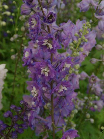 Delphinium  'Camelliard' - Ridderspoor