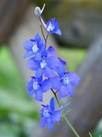 Delphinium grandiflorum 'Blauer Zwerg' - Ridderspoor