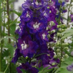 Delphinium  'Magic Fountains' - Ridderspoor