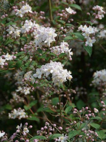 Deutzia x hybrida 'Mont Rose' - Bruidsbloem