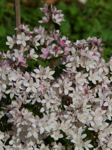 Deutzia × rosea 'Yuki Cherry Blossom' (='NCDX2') - Bruidsbloem