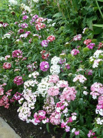 Dianthus barbatus  - Duizendschoon