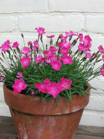 Dianthus superbus 'Kahori Pink' (='Hol Kaori') - Anjer