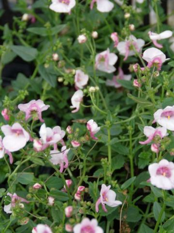 Diascia barbarea 'Flying Colors Appleblossom' (='Diastara') - Diascia