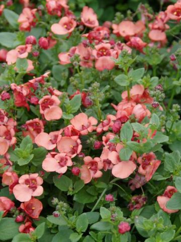 Diascia barberae 'Flying Colors Apricot' (='Diastina') - Diascia