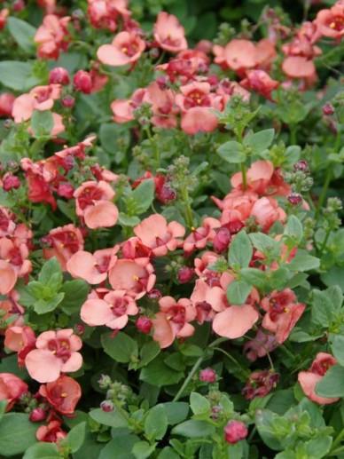 Diascia barberae 'Flying Colors Apricot' (='Diastina') - Diascia