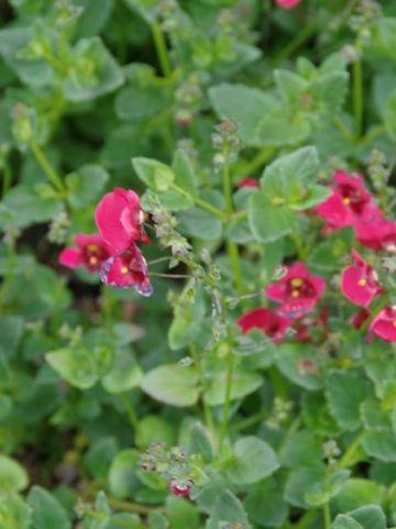 Diascia barberae 'Flying Colors Red' (='Diastonia') - Diascia