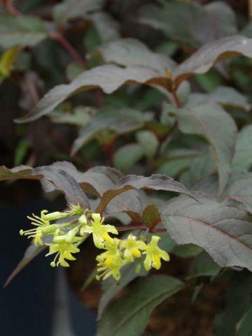 Diervilla × splendens 'Diva' (='El Madrigal') -