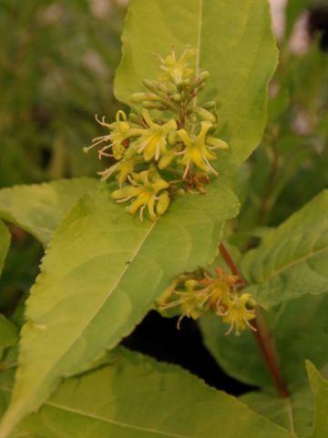 Diervilla rivularis 'Honeybee' (='DIWIBRU01') -