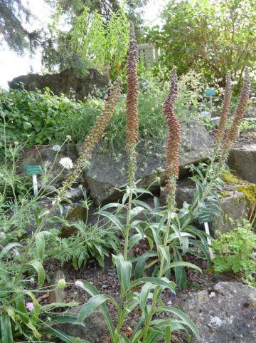 Digitalis parviflora  - Vingerhoedskruid