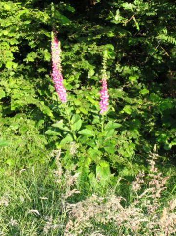 Digitalis purpurea - Gewoon vingerhoedskruid, pijpenkop, poppenschoentje