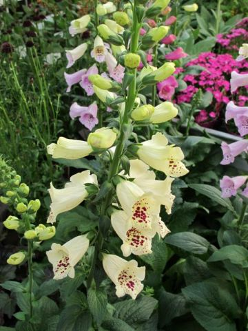 Digitalis purpurea 'Camelot Cream' - Vingerhoedskruid